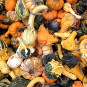 gourds for Halloween
